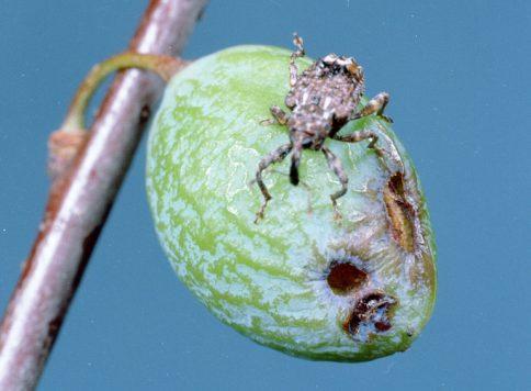 Adult plum curculio