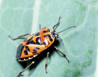 Adult harlequin bug on cabbage