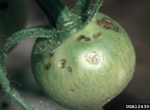 Damage to skin on tomato fruit by potato flea beetles (Epitrix cucumeris)