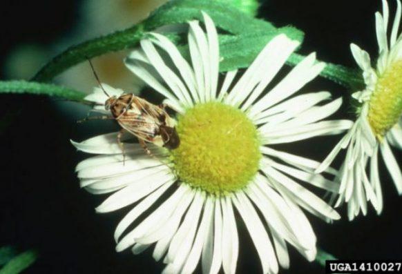 Lygus lineolaris (tarnished plant bug) on daisy fleabane