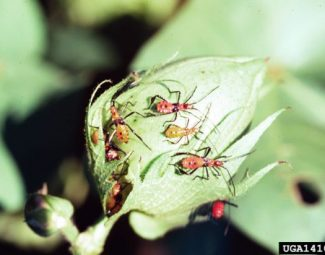 Leaf-footed bug nymphs on cotton boll