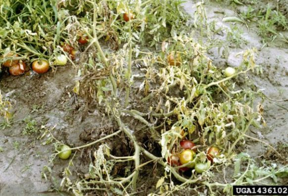 Symptoms of fusarium wilt in tomato plant