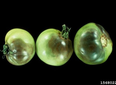 Symptoms of Late Blight (Phytophthora infestans) on tomatoes