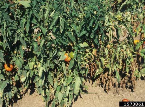 Wilted tomato plants caused Verticillium wilt