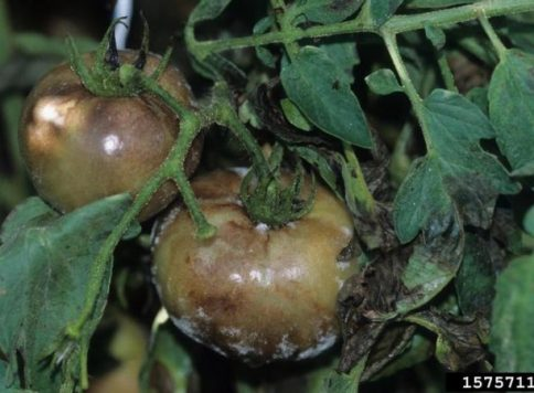 Late blight (Phytophthora infestans) will sporulate on the fruit surface when moisture is present.