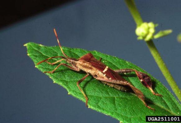 Adult leaf-footed bug on leaf