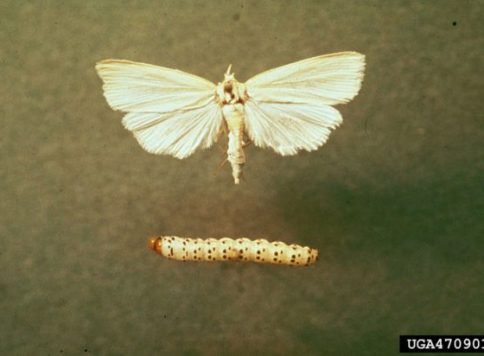 Multiple life stages of the southwestern corn borer