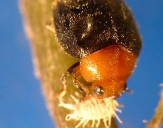 Mealybug destroyer - adult beetle feeding on citrus mealybug