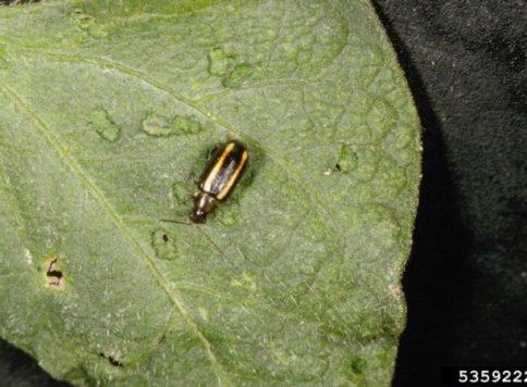 Adult pale-striped flea beetle (Systena blanda) on a dry bean leaf.