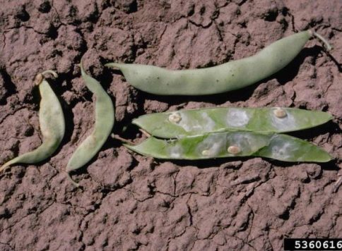 Damage to bean pods and seeds caused by the Lygus bug Lygus spp. in the field.