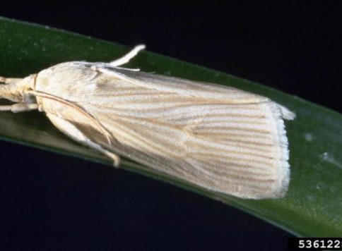 Dorsal-lateral view of an adult southwestern corn borer