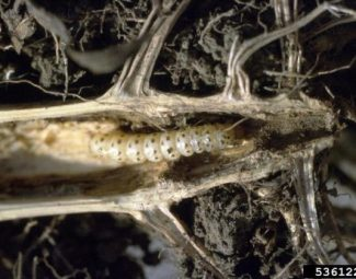 Larva of the southwestern corn borer in the rootcrown of a corn plant.