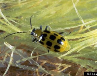 Adult southern corn rootworm (a.k.a. spotted cucumber beetle)