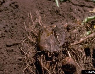 Late blight (Phytophthora infestans) infection of  a potato plant on a field.