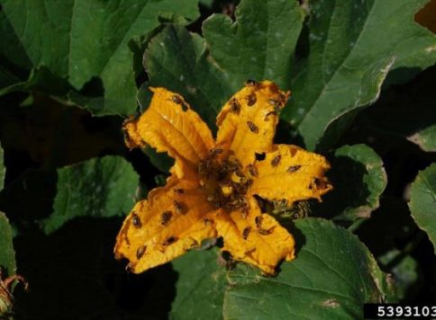 Pumpkin plants infested with the Striped cucumber beetle,