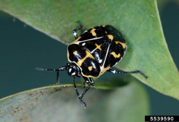 Adult harlequin bug close up
