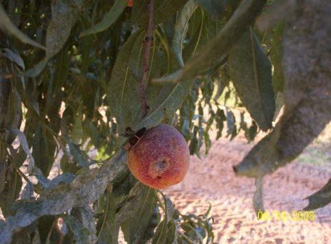 Adult leaf-footed bug on peach
