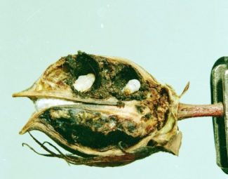 Boll weevil larvae on damaged cotton boll