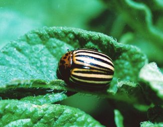 adult colorado potato beetle