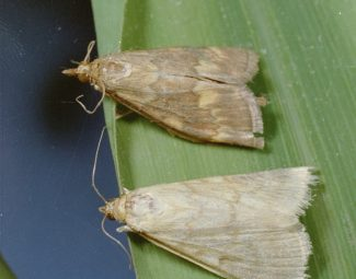 European corn borer adults