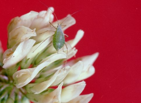 adult pea aphid