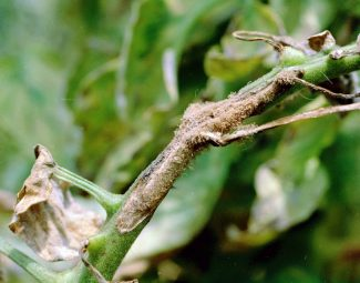 Early blight symptoms on stem of tomato plant