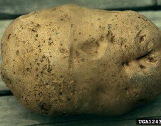 External symptoms of larval injury to potato caused by tuber flea beetles