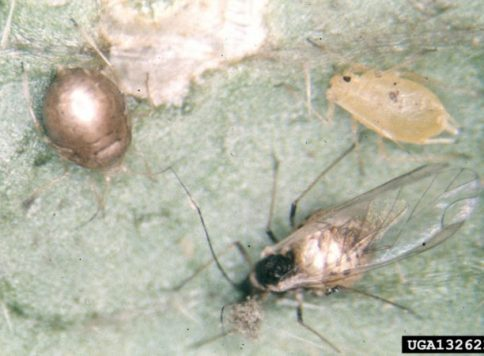 "Green peach aphid winged and wingless form ""mummies"" attacked by parasitoid."