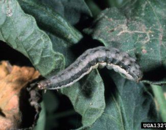 beet armyworm late instar larva