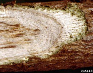 Verticilliium wilt damage to cotton stem