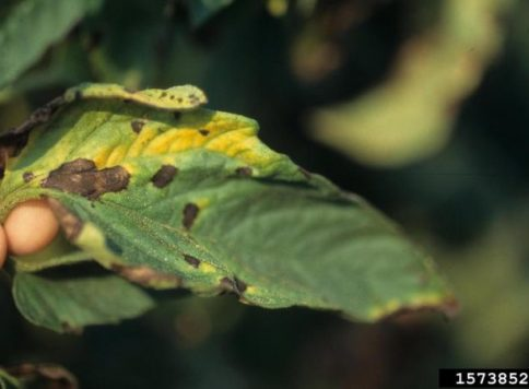 Close up of blighted leaf on tomato plant