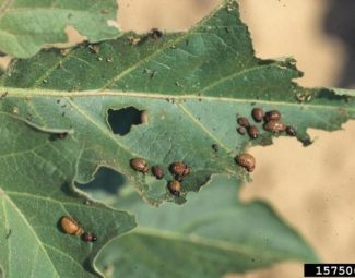 Colorado potatoe beetle larvae feeding on foliage.