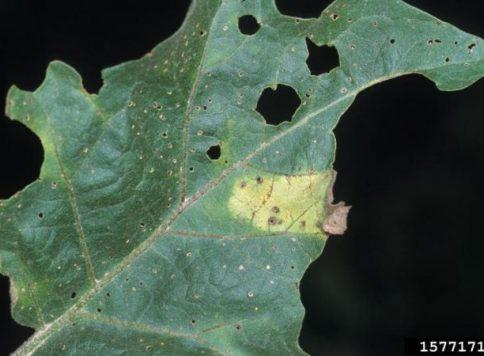 Eggplant foliar symptoms of Verticillium wilt.