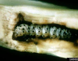 Southwestern corn borer larva