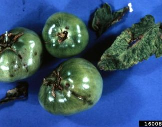 damage to tomatoes by tomato pinworm