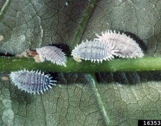 infestation of the citrus mealybug