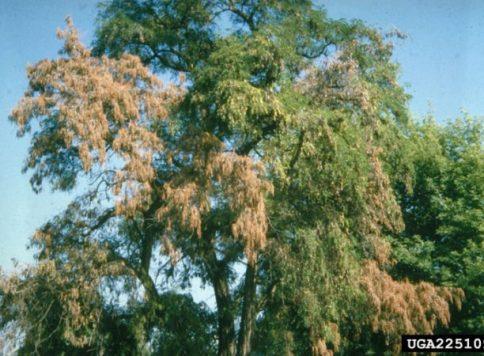 crown with Verticillium wilt symptoms
