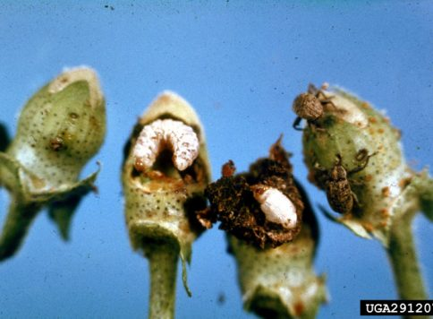 multiple life stages of the boll weevil on cotton plant