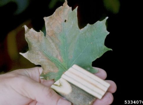 vascular discoloration and foliar symptoms on sugar maple leaf caused by verticillium wilt