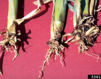 Damage to corn roots due to feeding by the southern corn rootworm