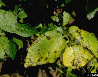 symptoms of early blight on the leaves of potato plant