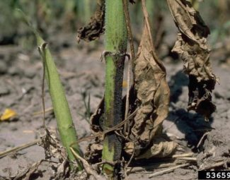 Sunflower plants showing symptoms of Verticillium wilt infection caused by Verticillium dahliae in the field.