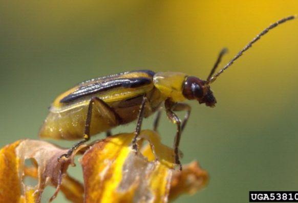 adult striped cucumber beetle close up