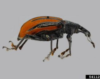 adult citrus root weevil (diaprepes root weevil)