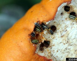 Striped cucumber beetle adults feeding on cull pumpkins in early autumn.