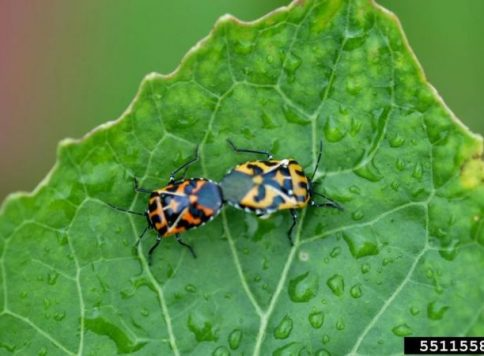 Harlequin bug adults