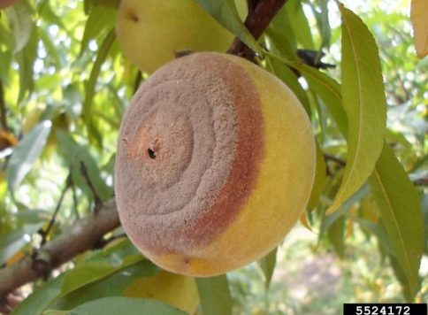sign of brown rot on a peach