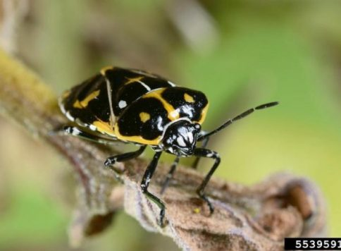 adult harlequiin bug