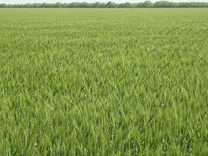 wheat, plant