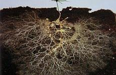 pine tree seedling with mycorrhizae rhizosphere
